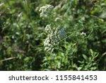 common yarrow. caprifoliaceae ... | Shutterstock . vector #1155841453