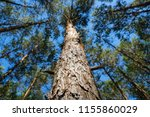 tree trunk closeup   looking up ... | Shutterstock . vector #1155860029