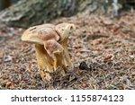 tylopilus felleus   inedible... | Shutterstock . vector #1155874123