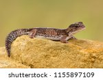 the african fat tailed gecko is ... | Shutterstock . vector #1155897109
