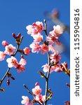 Beautiful Pink Cherry Blossoms ...