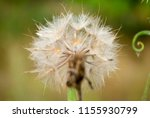 Macro Fluffy Blowball Flower....