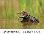 dwarf crocodile  osteolaemus... | Shutterstock . vector #1155944776