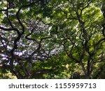 hawaii jungle  entangle trees...   Shutterstock . vector #1155959713