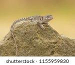 "the name ""collared lizard""... | Shutterstock . vector #1155959830"