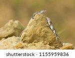 "the name ""collared lizard""... | Shutterstock . vector #1155959836"