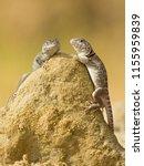 "the name ""collared lizard""... | Shutterstock . vector #1155959839"