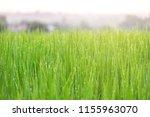 nature fresh green rural rice... | Shutterstock . vector #1155963070