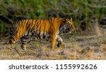 tigress madhuri against green...   Shutterstock . vector #1155992626