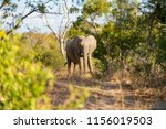 elephant is walking in the... | Shutterstock . vector #1156019503