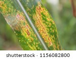 typical symptoms of common rust ...   Shutterstock . vector #1156082800