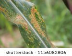 maize rust diseases that damage ... | Shutterstock . vector #1156082806