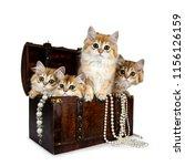 four super sweet golden british ... | Shutterstock . vector #1156126159