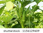 Lady Fingers Or Okra Vegetable...