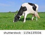 cow on a summer pasture | Shutterstock . vector #1156135036