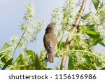 blyth's reed warbler sitting on ... | Shutterstock . vector #1156196986