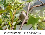 blyth's reed warbler sitting on ... | Shutterstock . vector #1156196989