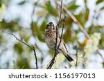 whinchat young sitting on bush. ... | Shutterstock . vector #1156197013
