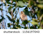 common reed bunting. cute... | Shutterstock . vector #1156197043