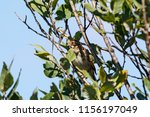 common reed bunting. cute... | Shutterstock . vector #1156197049