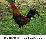 colorful rooster walking on the ... | Shutterstock . vector #1156207723
