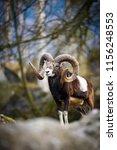 the mouflon  ovis orientalis  | Shutterstock . vector #1156248553