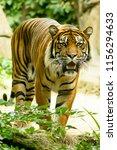 tiger   panthera tigris tigris  | Shutterstock . vector #1156294633