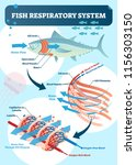 fish respiratory system vector... | Shutterstock .eps vector #1156303150