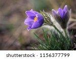 Violet Flowers On A Spring...
