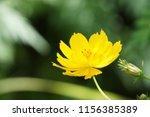 yellow cosmos or cosmos... | Shutterstock . vector #1156385389