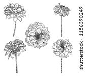 dahlias set. botanical vintage... | Shutterstock .eps vector #1156390249