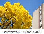yellow ipe in bloom. typical...   Shutterstock . vector #1156400380