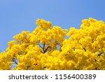 yellow ipe in bloom. typical...   Shutterstock . vector #1156400389