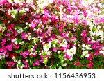 bougainvillea bright flowers... | Shutterstock . vector #1156436953