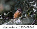 canadian chipmunk is such a... | Shutterstock . vector #1156450666