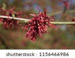 flowering witch hazel or... | Shutterstock . vector #1156466986