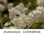 shaggy bee collecting pollen on ... | Shutterstock . vector #1156468426