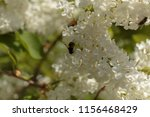 shaggy bee collecting pollen on ... | Shutterstock . vector #1156468429