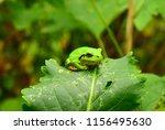 green frog on a green leaf. far ... | Shutterstock . vector #1156495630