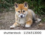 purebred dingo puppy  victoria... | Shutterstock . vector #1156513000