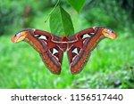 beautiful butterfly  the atlas...   Shutterstock . vector #1156517440