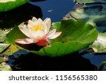nymphaea   water lilies   ... | Shutterstock . vector #1156565380