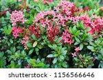 beauty red ixora on blur... | Shutterstock . vector #1156566646