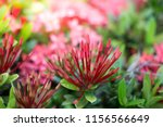 beauty red ixora on blur... | Shutterstock . vector #1156566649