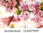 pink cherry blossom in full... | Shutterstock . vector #115657099