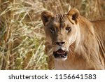 lion wild 4 | Shutterstock . vector #1156641583