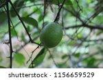 fresh green  lemon  citrus... | Shutterstock . vector #1156659529