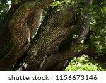 Old Oak Tree Trunks Interlacin...