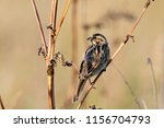 common reed bunting. cute... | Shutterstock . vector #1156704793