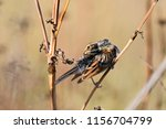 common reed bunting. cute... | Shutterstock . vector #1156704799